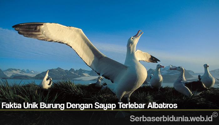 Fakta Unik Burung Dengan Sayap Terlebar Albatros